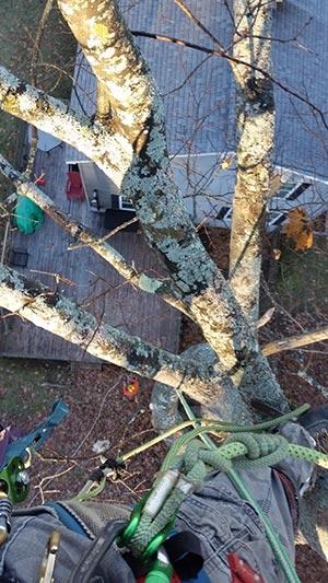 tree pruning augusta maine
