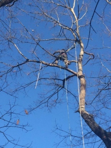augusta-maine-tree-removal-7